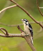 Male Downy Woodpecker, Picoides pubescens — Stock Photo