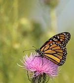 Farfalla monarca, danaus plexippus — Foto Stock
