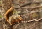 östlichen fuchs, eichhörnchen, sciurus niger — Stockfoto