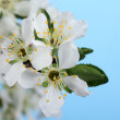 Stock Photo: Pear Tree Blossoms