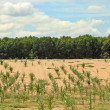 Parched Cornfield — Stock Photo #39095491