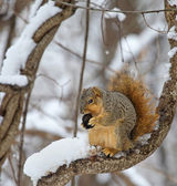 Fox Squirrel in a Tree — Stock Photo