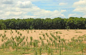 Parched Cornfield — Stock Photo