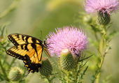 Swallowtail Butterfly and Milk Thistle — Stock Photo