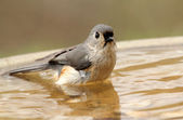Bathing Tufted Titmouse — Stok fotoğraf