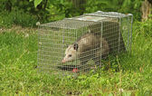 Trapped Virginia Opossum — Stock Photo