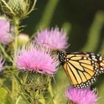 Monarch Butterfly, Danaus plexippus — Stock Photo #41433491