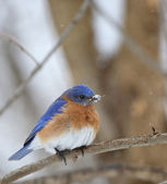 Bluebird, Sialia sialis — Stock Photo
