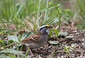 White-throated Sparrow, Zonotrichia albicollis — Stock Photo
