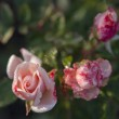 Red roses covered with dew — Stock Photo