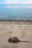 Horseshoe crab away from the sea — Stock Photo
