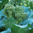 Broccoli plant and flower — Stock Photo #29910811