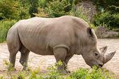 Rhino eating leaves — Stock Photo