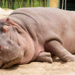 Sleeping hippopotamus — Stock Photo