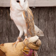 Tamed barn owl — Stock Photo