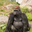 Large gorilla looking at his right at the zoo — Stock Photo #31183953