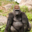 Large gorilla looking straight — Stock Photo