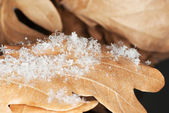 Oak leaves covered with snow flakes — Stock Photo