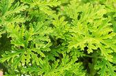 SCENTED GERANIUMS bush close up — Stock Photo