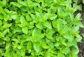 Moroccan peppermint in garden — Stock Photo