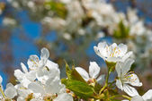 Cherries blossoms — Stock Photo