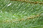 Raindrops on pine — Foto de Stock