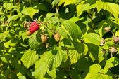 Plantation of raspberries — Stock Photo