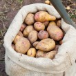 Stock Photo: Sack of freshly picked potatoes