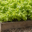 Lettuce growing in a raised bed in a polytunnel — Stock Photo #48241077
