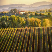 Vineyards in golden light, a place of Montepulciano, Tuscany — Stock Photo