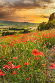 Poppies in the Tuscan hills with a beautiful sunset, Pienza, Ita — Stock Photo
