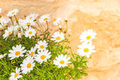 Daisies on a brick background — Стоковое фото