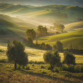 Tuscan olive trees and fields in the area of Siena, Italy — Stock Photo