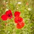 Wild poppies in the middle of green fields. — Stock Photo
