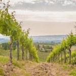 Spring Tuscan vineyards around San Gimignano, Italy — Stock Photo #48165205