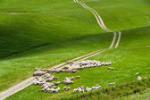 Free sheep on a green field in a summer day — Stock Photo