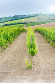 Juicy green vineyards in Chianti, Italy — Stock Photo