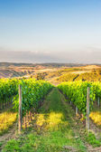 Beautiful vineyards on the hills of the peaceful Tuscany, Italy — Stock Photo