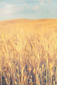 Yellow cultivated field on a background of blue sky — Stock Photo