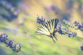 Beautiful Swallowtail butterfly drinking nectar from flowers of — Stock Photo