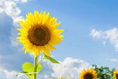 Tournesols jaunes sur un fond de ciel bleu en toscane, italie — Photo