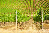 Beautiful vineyards in Chianti, Italy — Stock Photo