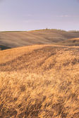 Gold field at sunset in Tuscany, Italy — Stock Photo