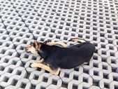 Black dog lie on the cement brick floor — Stockfoto