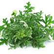 Wormwood grass — Stock Photo #27886053