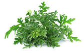 Wormwood grass — Stock Photo