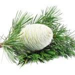 Branch of a young cedar — Stock Photo #28982383