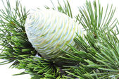 Cone of cedar — Stock Photo