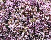 Flower of origanum — Stock Photo