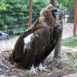Stock Photo: griffon vulture